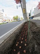 tulipgrowup1.jpg