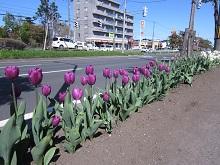 tulipgrowup5.jpg