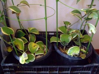 凍結被害~ホヤ  ケリー(カーリー) 斑入り (Hoya kerrii var.Variegata')=ハート ホヤ ~まだ落葉していませんが・・・危なさそうです(´ヘ`;)2012.12.19