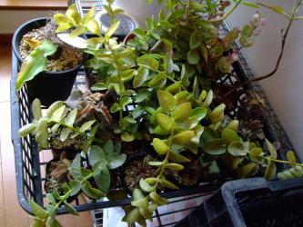 凍結被害~ホヤ クミンギアナ(Hoya cumingiana)葉が透明になり痛んでいます。2012.12.19