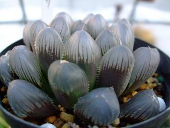 ハオルチア 紫オブツーサ(Haworthia cooperi v. truncata purple form) 冬でも元気です♪9cmポット植えです。2012.12.28