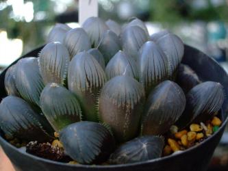 ハオルチア 紫オブツーサ(Haworthia cooperi v. truncata purple form)2012.12.28