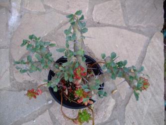 フウロソウ科 サルコカウロン ブルマンニー(Sarcocaulon burmannii) やはり花が咲きません(´ヘ`;)虹の玉がこぼれ生えてコラボしてます♪2013.01.06