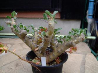 フウロソウ科 サルコカウロン ブルマンニー(Sarcocaulon burmannii) やはり花が咲きません(´ヘ`;)裏を返すと日当たり不足幹がツルツル葉が少ないです。~2013.01.06