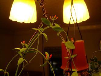 ディスキディア ペクテノイデス(Dischidia pectenoides) 室内に入れて15℃以上の暖房部屋で元気に花を咲かせています♪2012.12.31