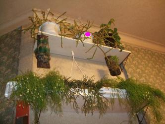 リプサリスいろいろ~♪冬期早めに室内に取り込むと早々花芽を付け開花しています♪2013.01.05