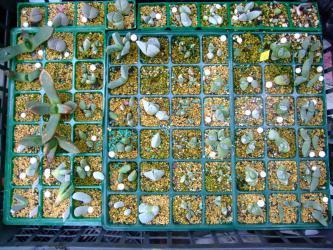 リトープス、コノフィツム、ギバエウム、ケイリドプシス、プレイオスピロスなどの挿し木苗~無加温温室の夜間寒すぎるので心配です。2013.01.11