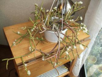 リプサリス グランディフローラ(Rhipsalis grandiflora)結構太い円筒状茎節(0.7mm径)室内加温部屋でかわいい白花開花中~2013.01.16