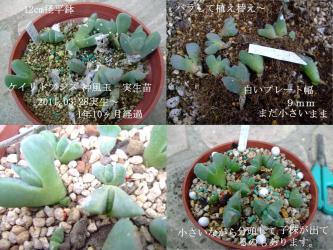 ケイリドプシス 神風玉 実生苗(2011.03.28~)1年10ヶ月経過しましたが・・・植替えもせず小さいままです(´ヘ`;)植え替えました!2013.01.17