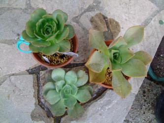 左~アエオニウム君美麗 (holochrysum )、右~アエオニウム属 鏡獅子(Aeonium nobile ) 、下~アエオニウム バルバデンセ(Aeonium valverdense) 2013.01.18