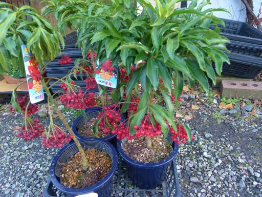 20130102・初詣植物06