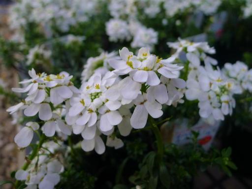 20130102・初詣植物16