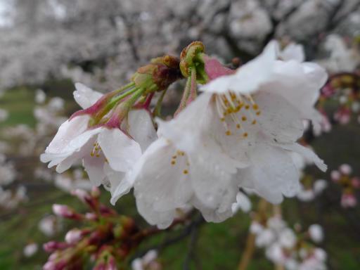 20130327・植物02・桜