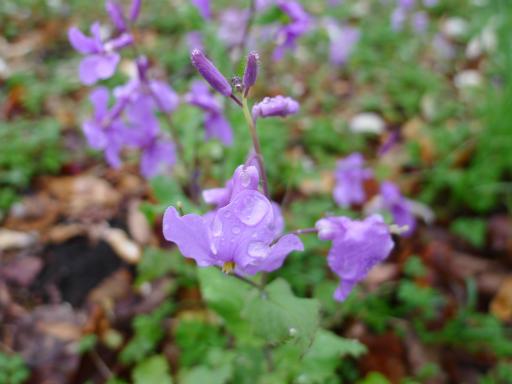 20130327・植物10・ムラサキハナナと雨粒