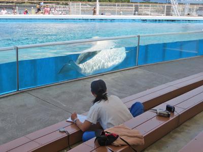 横浜・八景島シーパラダイス シロイルカの赤ちゃん誕生
