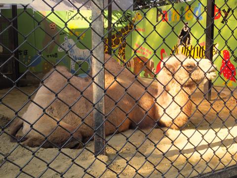 野毛山動物園 フタコブラクダ ツガルさん誕生会2012